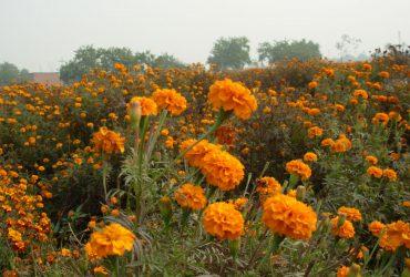 Marigold-Farming